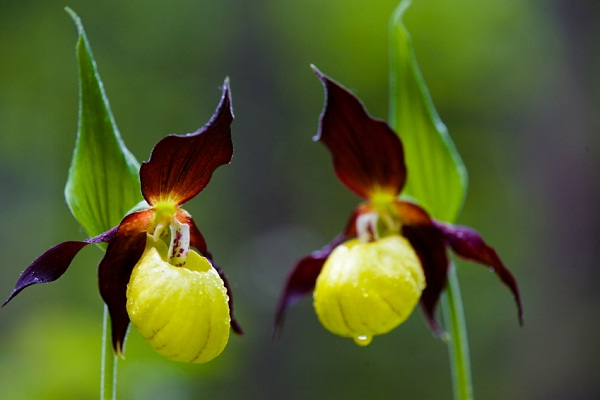 Yellow and Purple Lady Slippers (Cypripedium Calceolus)-Extremely Rare Flowers