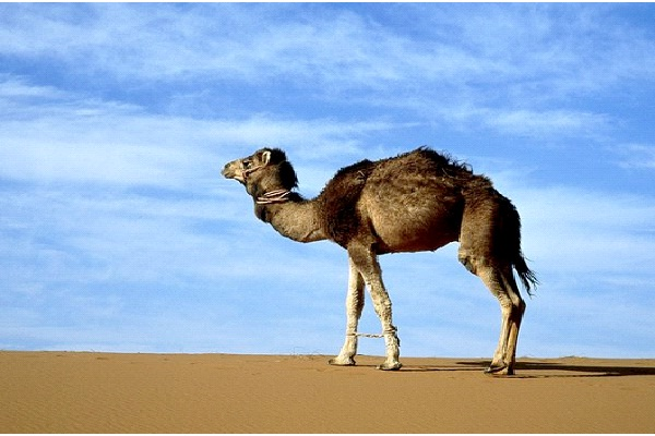 Pharmaceutical Camels-Genetically Modified Animals You Can Buy