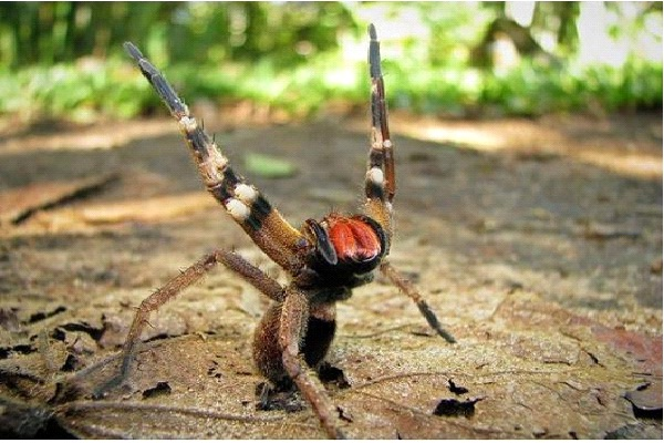Brazilian Wandering Spider-Dangerous Spiders In The World-2549