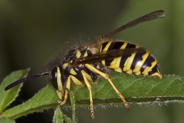 Yellow jackets-Most Dangerous Insects