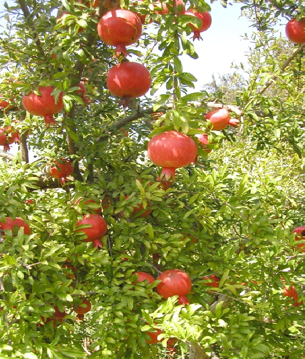 Pomegranate-Foods That Increase Sperm Count