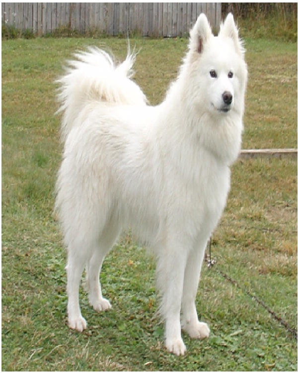Samoyed-Most Expensive Dogs In The World