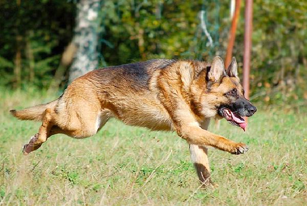 German Sheperd-Most Aggressive Dog Breeds