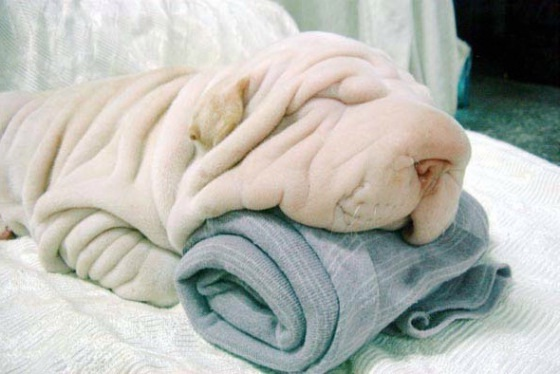Which one is the towel?-Cool Wrinkly Dogs