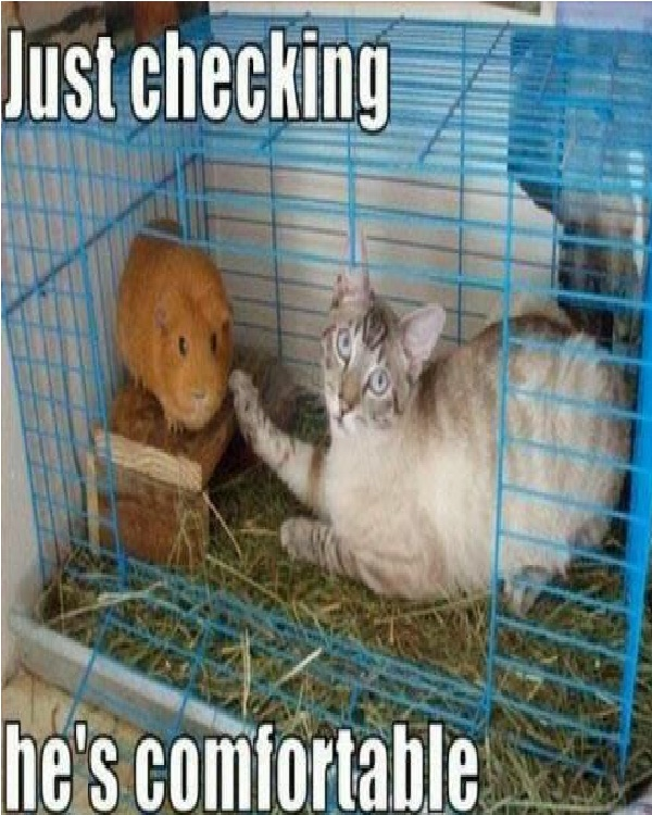 The guinea pig-Funniest Cat Memes Of All Time