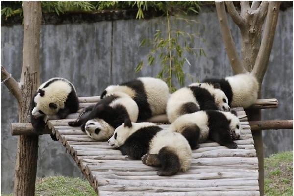 Giant Panda Cub Eyes-Amazing Facts About Pandas