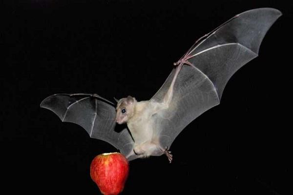 Fellatio by fruit bats prolongs copulation time-Most Bizarre Scientific Papers