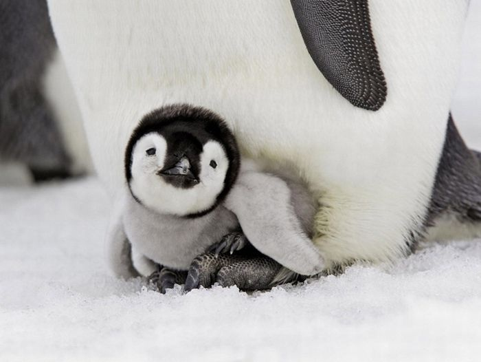 Penguin-Adorable Baby Animals