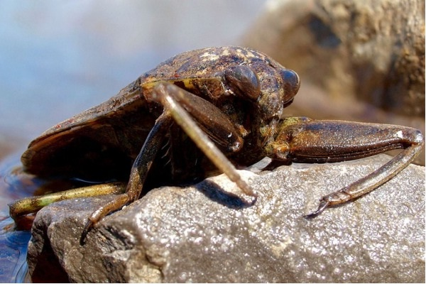 Giant Waterbug-Real Giant Bugs