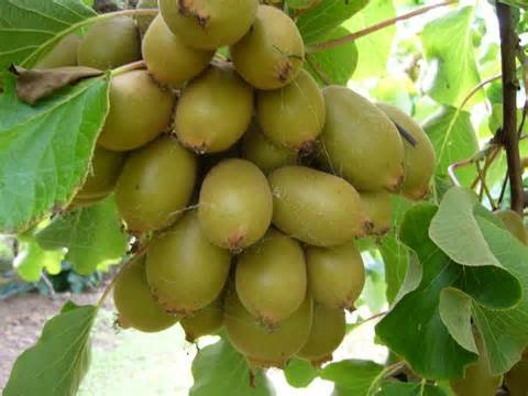 Kiwi fruit-Some Favorite Fruits And Vegetables And How They Are Grown