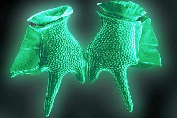 Dinoflagellates-Amazing Bioluminescent Organisms