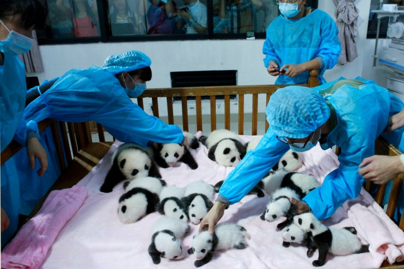 Serve us, Humans-15 Images That Show, You Must Visit A Baby Panda Daycare Once