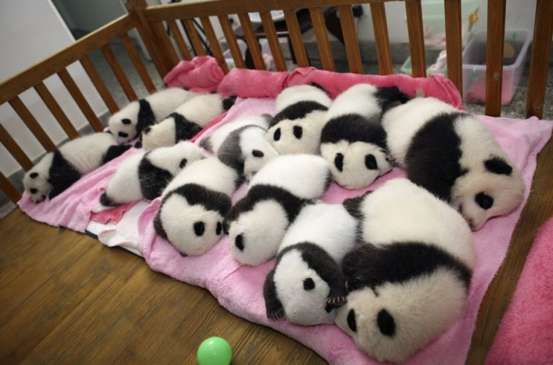 This is Why It's a Daycare-15 Images That Show, You Must Visit A Baby Panda Daycare Once