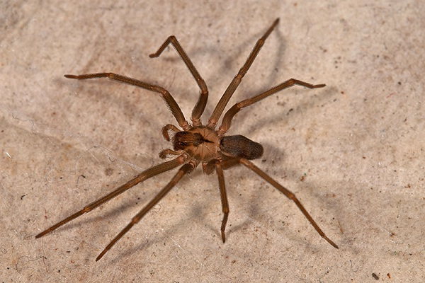 Brown recluse-Deadliest Insects