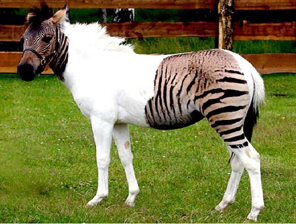 Zorse-Coolest Hybrid Animals