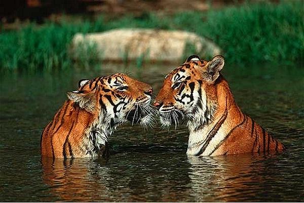 Tiger-Weird Facts About Animals