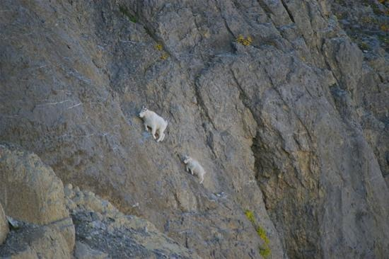 Follow me I know a safe route-Photos Of Goats On Cliffs