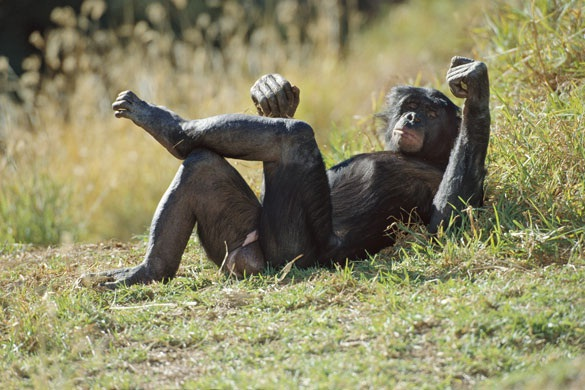 Naughty Chimps-Crazy Facts That Will Blow Your Mind