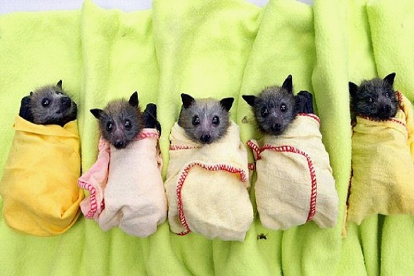 Sweet Little Bats-Cutest Baby Animals