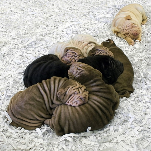 Lots of wrinkles together-Cool Wrinkly Dogs