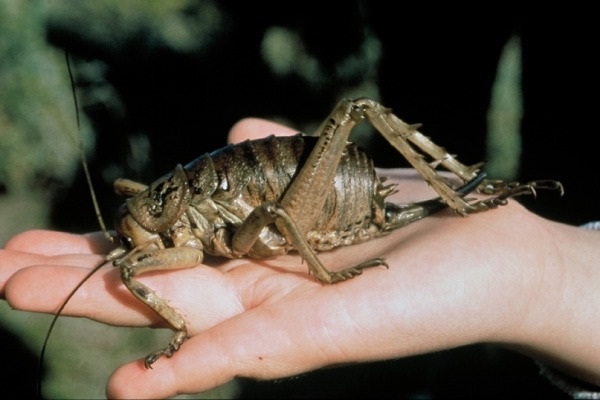 Giant Weta-Real Giant Bugs