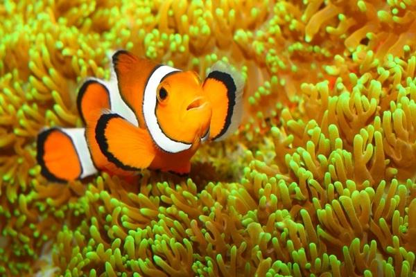 Clownfish-Most Beautiful Fishes