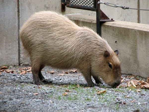Capybara-Unusual Pets That Are Legal To Own