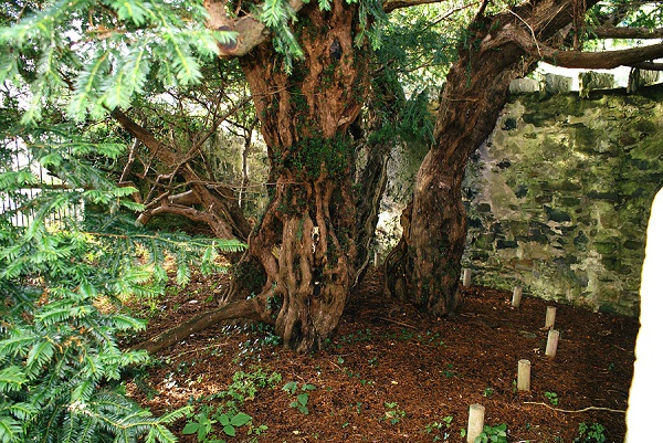 Old trees-Fascinating Facts About Scotland That You Didn't Know