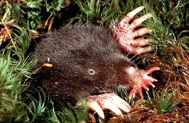 Star-nosed mole-Funny Looking Animals