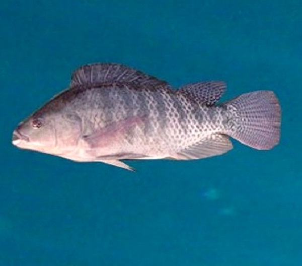 Male Tilapia-Genetically Modified Animals You Can Buy