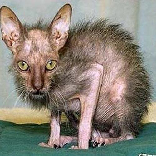 A cat rat?-Ugliest Cats Ever