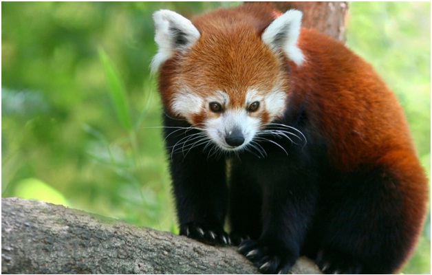 Red Pandas-Amazing Facts About Pandas