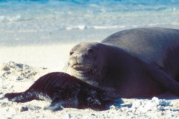 Caribbean Monk Seal-Recently Extinct Animals