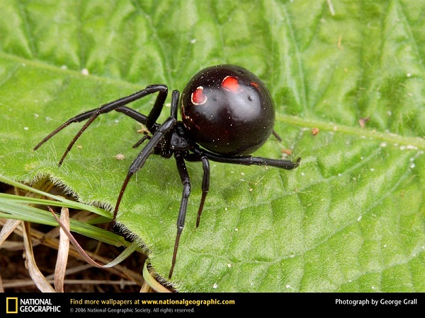 Black Widow-Most Dangerous Insects