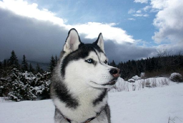 Siberian Husky-Most Aggressive Dog Breeds