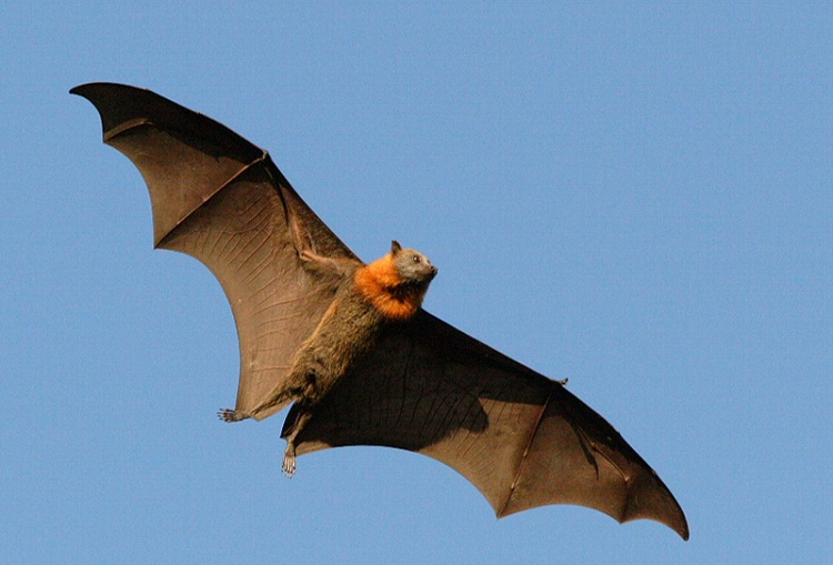 Flying fox-Flying Animals Which Are Not Birds