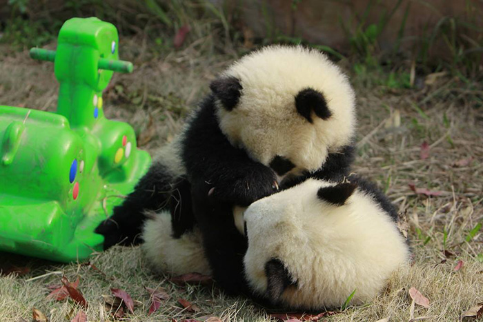 It's Time to Play again-15 Images That Show, You Must Visit A Baby Panda Daycare Once