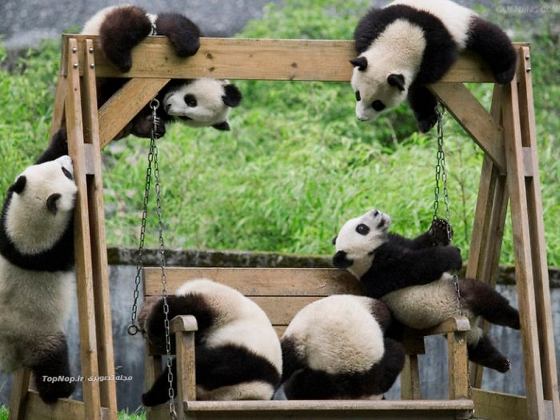 Cradles and Swings-15 Images That Show, You Must Visit A Baby Panda Daycare Once
