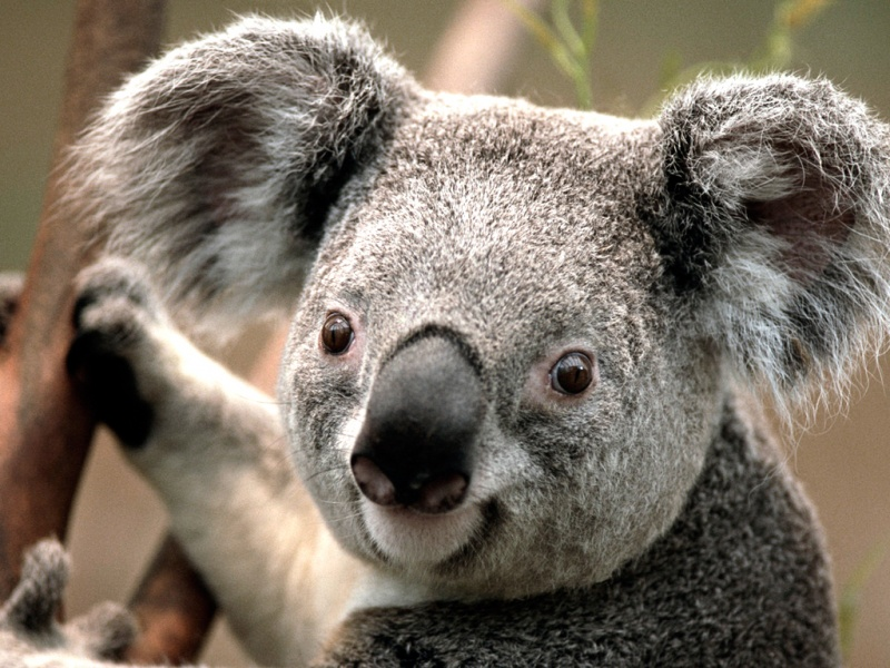 Koala-15 Super Cool Animals That You May Find Only In Australia