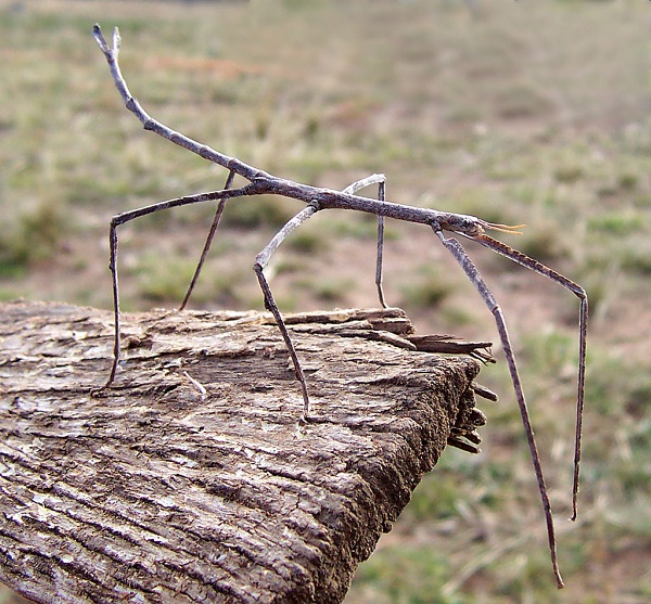 Stick insect-Unusual Pets That Are Legal To Own