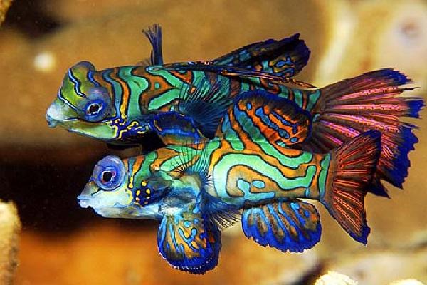 Purple betta-Most Beautiful Fishes