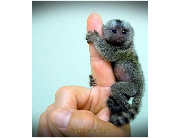 Finger Monkey-Cutest Animals Ever
