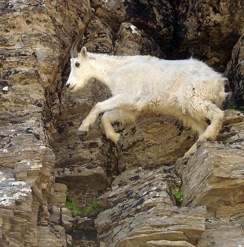 A leap of faith-Photos Of Goats On Cliffs