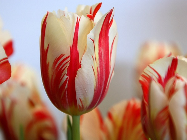 Tulip-Most Beautiful Flowers In The World