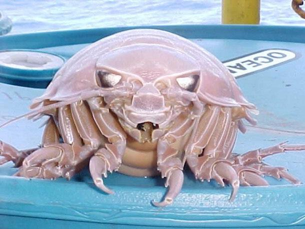 Giant Isopod-Horrible Deep Sea Creatures
