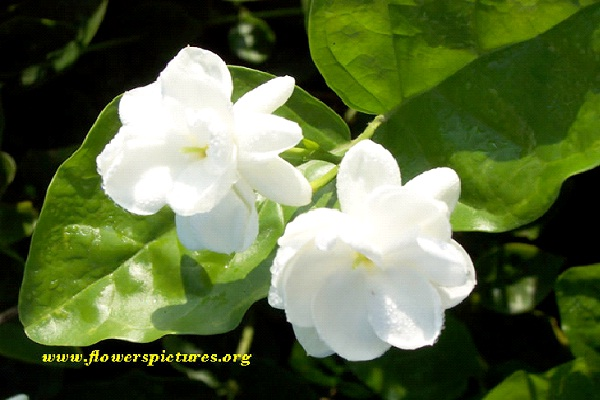 Jasmine - China-Things Which Governments Have Banned