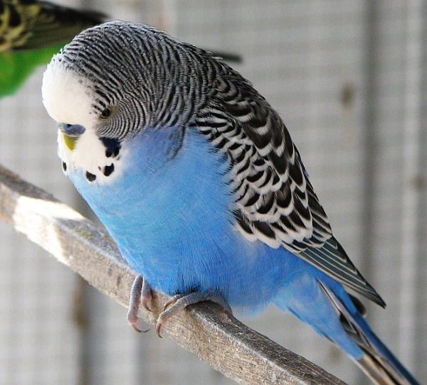 Budgie-Best Animals For Pets