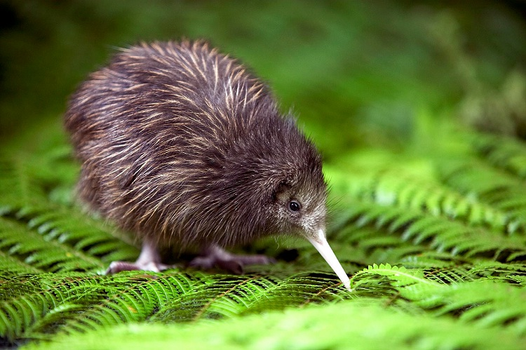 Kiwis-Birds Which Cannot Fly