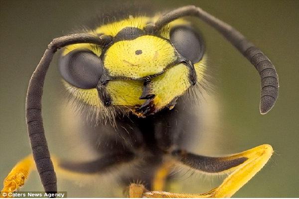 Wasp-Ugliest Bugs