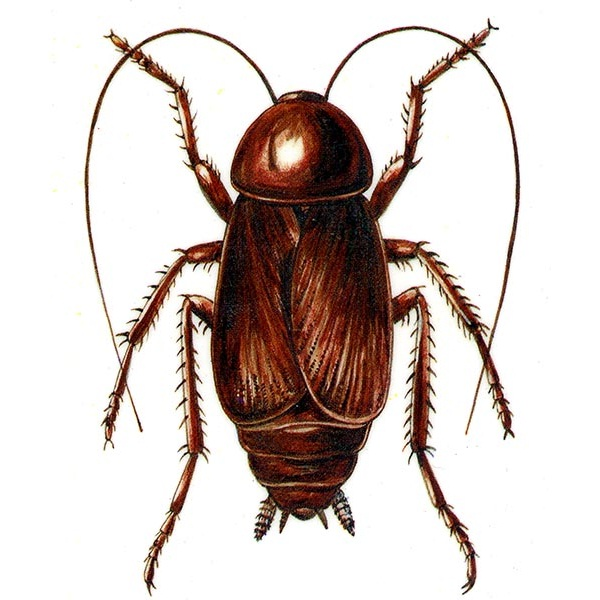 Cockroach-Most Dangerous Insects